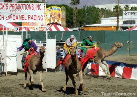 The camels go crazy